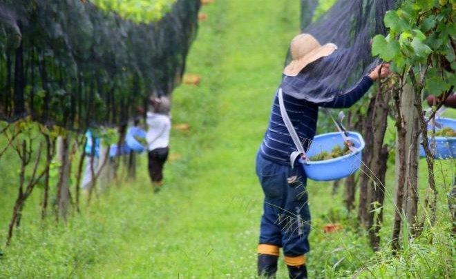 Produtores de vinho catarinenses esperam safra maior neste ano