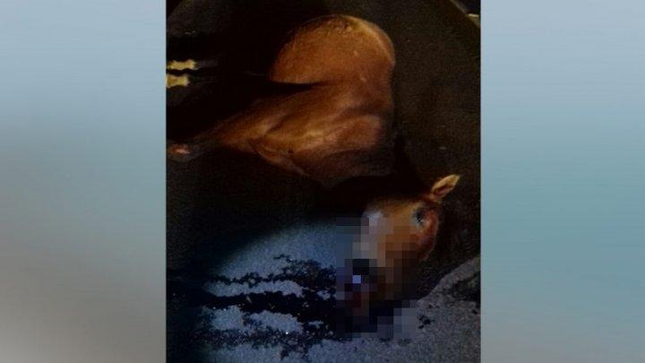 Cavalo morre após ser atropelado em Chapecó