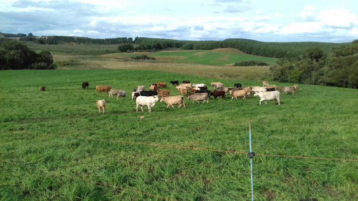 Santa Catarina avança na produção de carne bovina