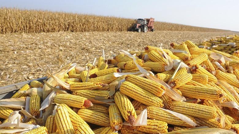 Santa Catarina terá produtividade recorde de milho