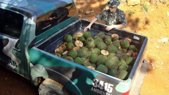 Policia Ambiental alerta para colheita e venda de pinhão que estão proibidas até 1º de abril
