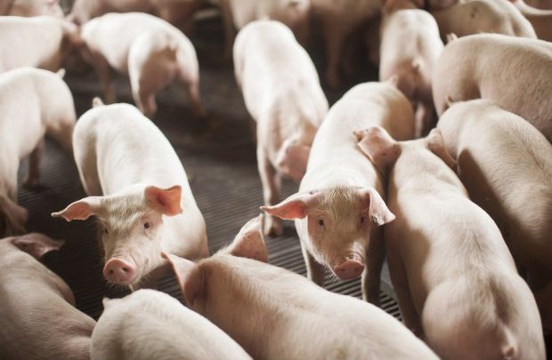 Março fecha com alta nas exportações de carne suína catarinense