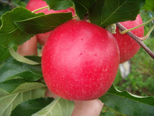 Venda de maçã na Europa reverte royalties para Santa Catarina