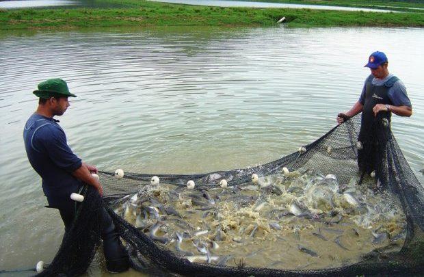 Santa Catarina aumenta em 10,6% a produção de peixes de água doce