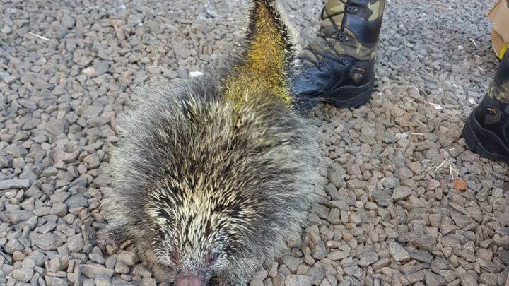 Polícia Ambiental devolve porco-espinho a natureza no meio oeste