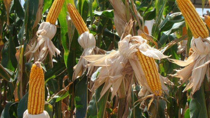 Escassez de milho em 2020 vai atrapalhar crescimento do agronegócio de SC