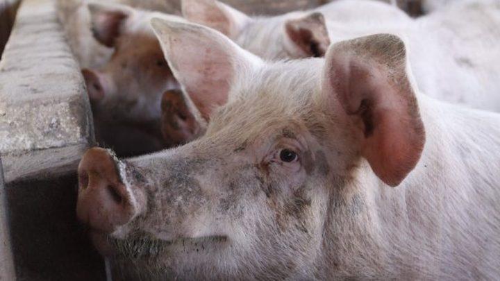China aprova exportação de subprodutos de suínos de 7 plantas de Santa Catarina