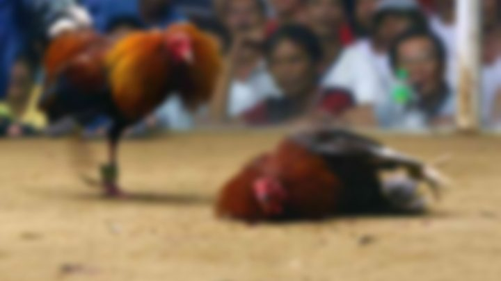 MPSC ingressa com ação contra organizador de rinha de galos
