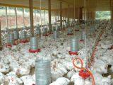 Clima é de cautela no mercado de SC para exportação de carne de frango em meio a tensão no Oriente Médio