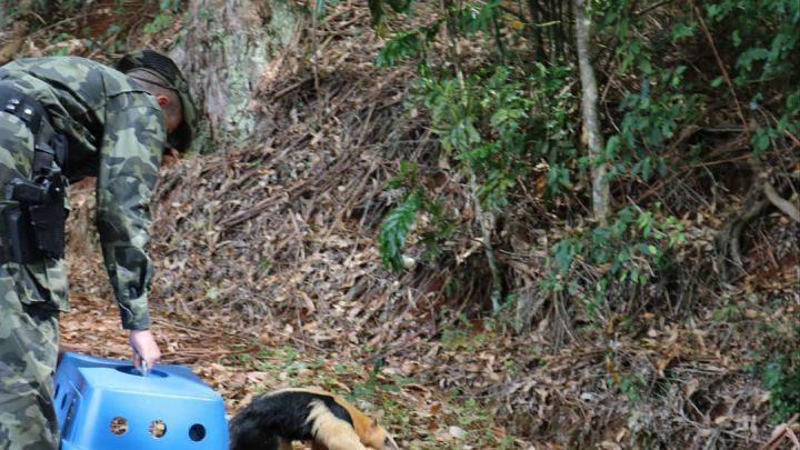 Tamanduá-Mirim volta para casa após se recuperar de atropelamento em São Carlos
