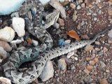 Bombeiros capturam cobra de 1,5 metro na porta de residência em Capinzal