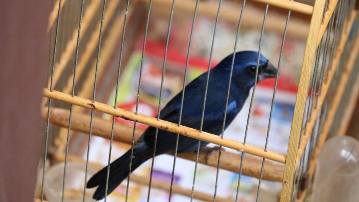 Polícia Ambiental apreende pássaros em cativeiro na cidade de Chapecó