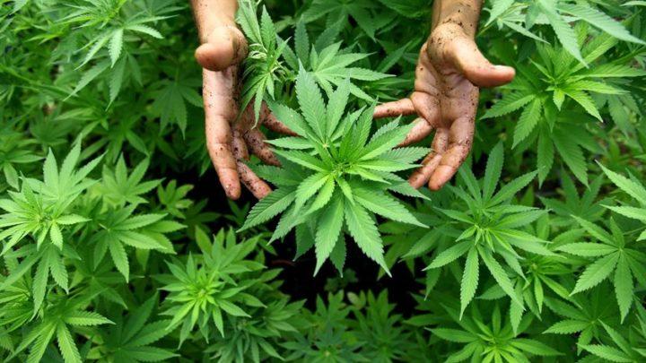 Justiça concede liminar favorável a morador de Santa Catarina para plantio de maconha para uso medicinal