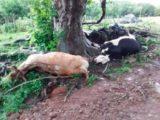 Mulher de 57 anos é ferida e cinco bovinos morrem por queda de raio no interior de Concórdia