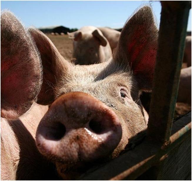 Idoso morre após ser atacado por porco no interior do Rio Grande do Sul