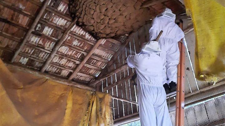 Ninho gigante de vespas é retirado no interior de Coronel Freitas