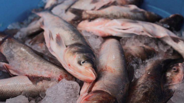 Movimento intenso na Feira do Peixe Vivo em Chapecó