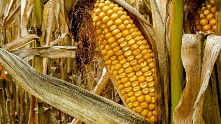 Estiagem castiga agronegócio catarinense