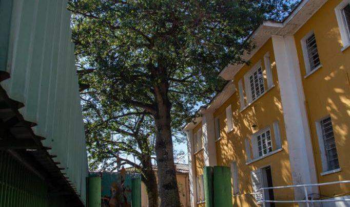 Árvores que ameaçam prédio histórico de Chapecó serão retiradas