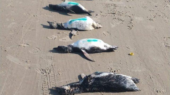 Vídeo: projeto encontra 59 pinguins mortos em praias do Sul de SC